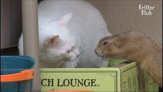 This Cute Cat Is So Scared Of The Prairie Dog LOL | Kritter Klub