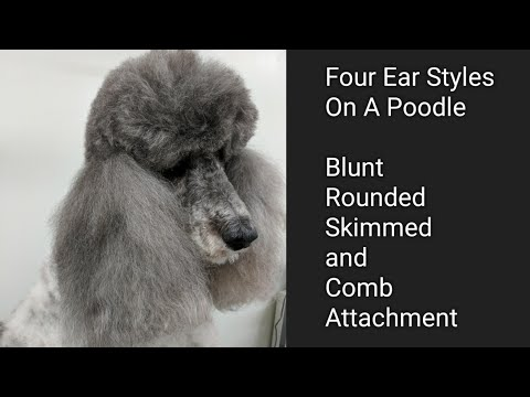 Four Ear Styles on a Poodle
