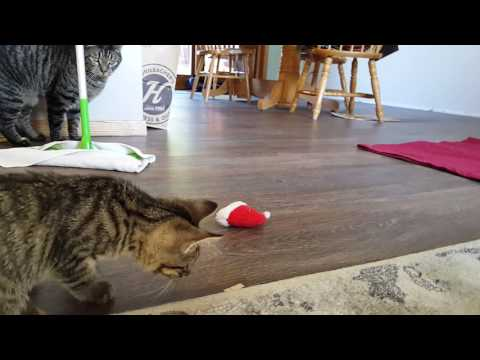 Kitten Meets Cat | Angry Cat Becomes More Friendly With Stray Kitten Over Time