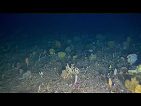 Coral Gardens | Amathole Offshore Marine Protected Area | South Africa (ACEP Imida Frontiers)