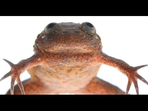 Assuring an Endangered Frog's Future | California Academy of Sciences