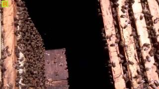 Как удержать пчелу от роения - деление пчелы и пасики