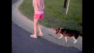 Will A Beagle Obey Off Leash With A 9 Year Old Girl??
