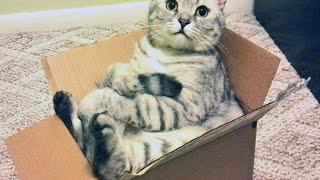 Самоупаковывающиеся коты / Cats and Boxes(, 2015-06-21T10:00:09.000Z)