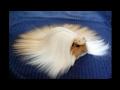 美しい長毛種のモルモット。その幻想的な姿は、見るものを魅了する。【驚愕する話】 …
