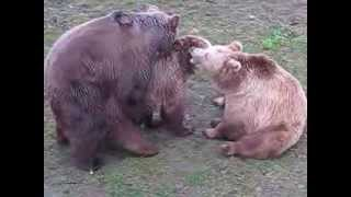 Kopulacja niedźwiedzi ZOO Wrocław 15.04.2012