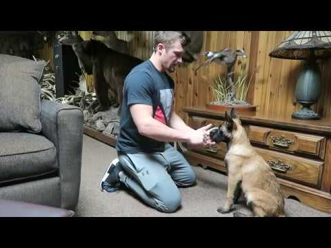 TRAINING A SHED DOG - Beginning Stages | Belgian Malinois