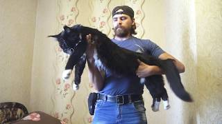 Большой кот Мейн-Кун на руках / Самые большие кошки / питомник Лирикум