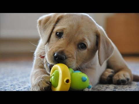Funny Dogs Playing With Toys – Funny Dog Videos 2017