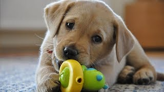 Funny Dogs Playing With Toys  Funny Dog Videos 2017