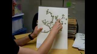 How to press plants for mounting on herbarium sheets
