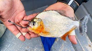 Chasing MONSTER AMAZON FISH with LIVE PIRANHAS!