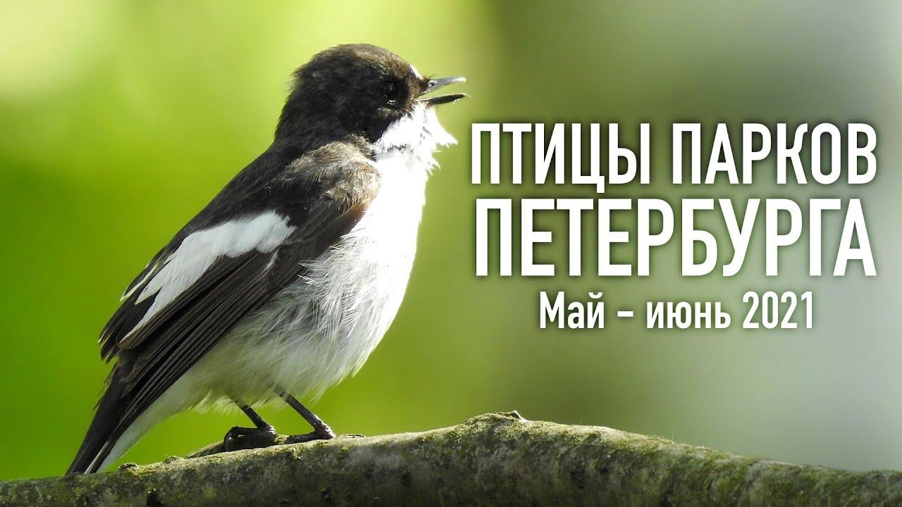 РАЗГАР СЕЗОНА - Бёрдвотчинг в парках Петербурга [Выпуск 2]