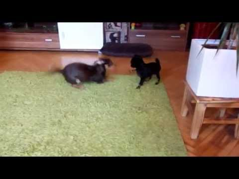 Russian Toy Terrier puppy at new home meeting a friend