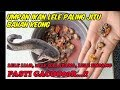 Umpan Ikan Lele Paling Jitu Bahan Keong, Tambah Essen Makin Joss