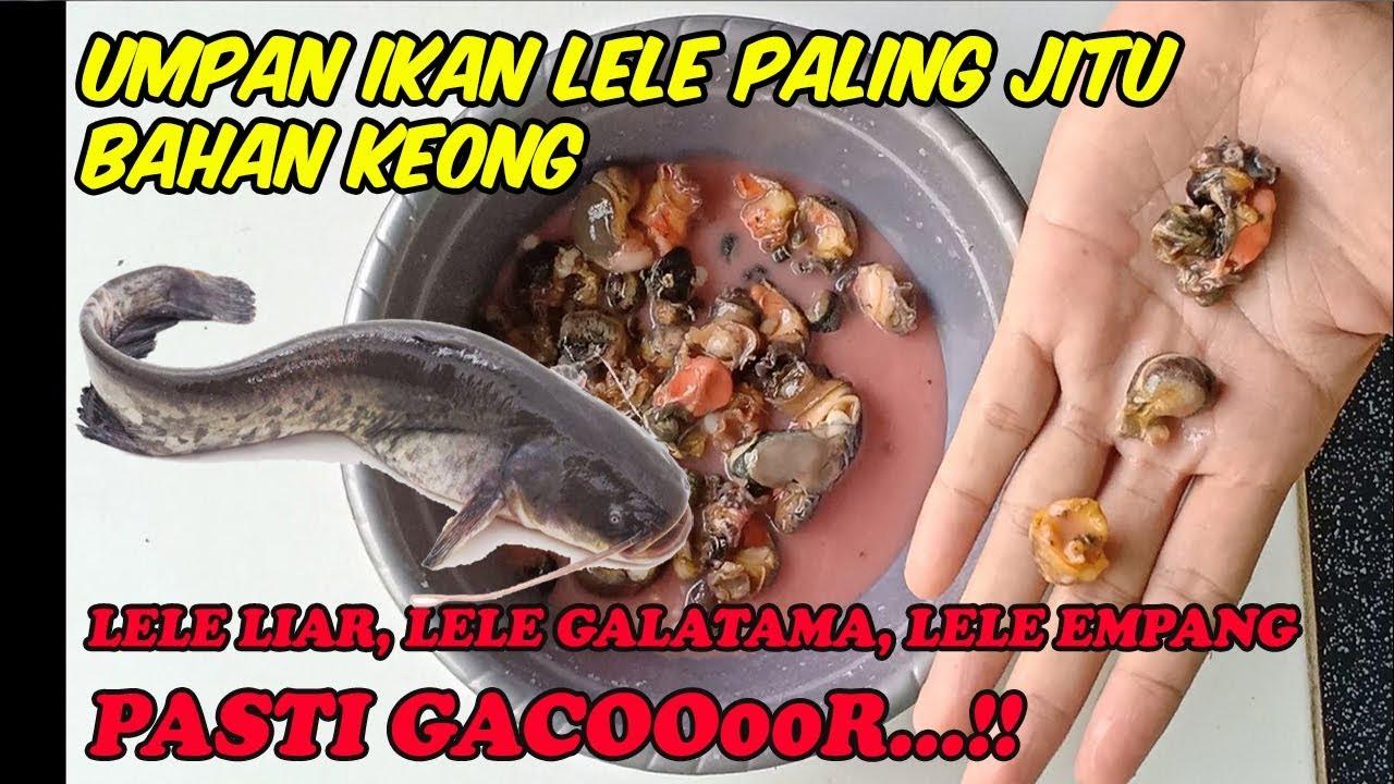 Umpan Ikan Lele Paling Jitu Bahan Keong Tambah Essen Makin Joss Youtube