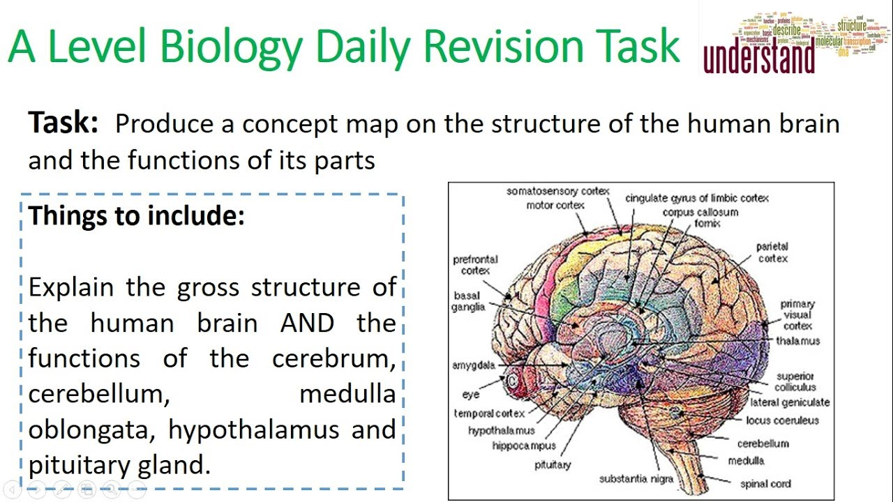A Level Biology Daily Revision Task 26: The structure of the human ...