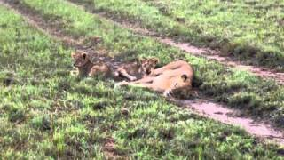 African Safari (Sabi Sand Park)