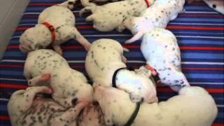 Caprilli Dalmatians, Breeders Of Akc Registered Dalmatian Puppies