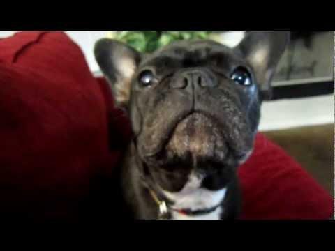 French bulldog - says 'Mama...I love mama!'
