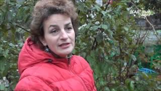 Укрытие на зиму плетистой розы Фламментанц. Сайт