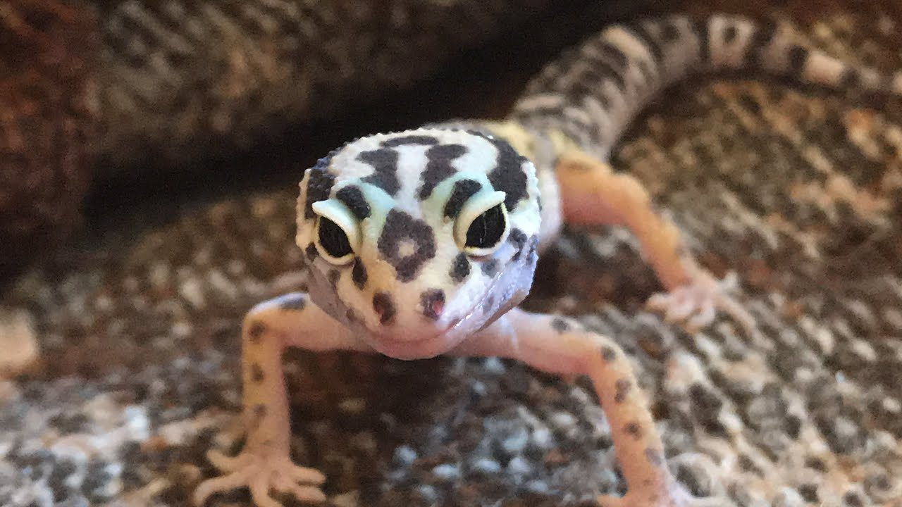 Opey The Leopard Gecko