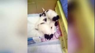 Как играют очень милые щенки собаки-бабочки (папильон)