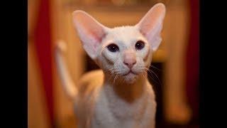 Как выглядят породы кошек(ФОРИН ВАЙТ