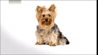 About Yorkshire Terriers 101 by Animal Planet