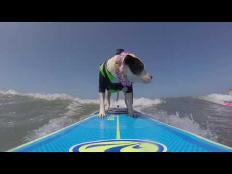 Surf dogs sharing a wave