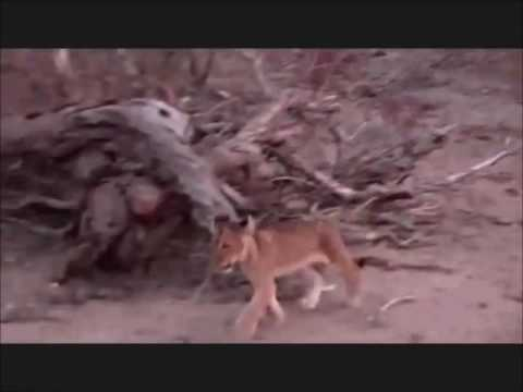 2 missing lion cubs are found, 09 Sep, 2016, WildEarth.tv