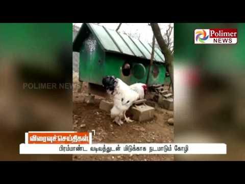 Video of Big Chicken goes viral on Internet   Polimer News
