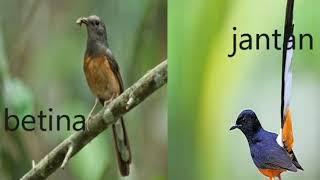 Suara Burung Murai Batu betina Memanggil jantan . Untuk meningkatkan percaya diri murai batu jantan