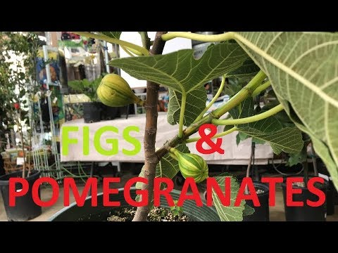 GROWING FIGS & POMEGRANATES | LIVESTREAM