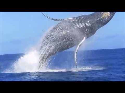 Saut de baleine impressionnant à l'île de la Réunion