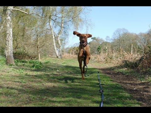 Scout - 8 Month Old Hungarian Vizsla - 4 Weeks Residential Dog Training