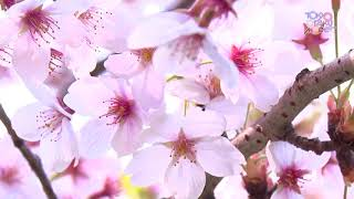 Blooming Sakura in Tokyo 2018