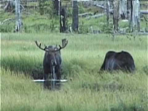 Yellowstone Wildlife - a peak