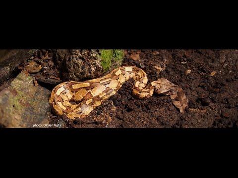 La vipère du Gabon, à l'affut du spéléologue