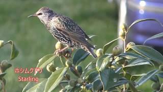 ホシムクドリと鳴き声 Starling singing