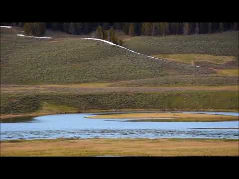 Wolf Pack Hunting Hayden Valley Yellowstone