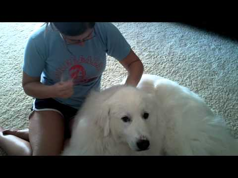 Do Great Pyrenees Shed?
