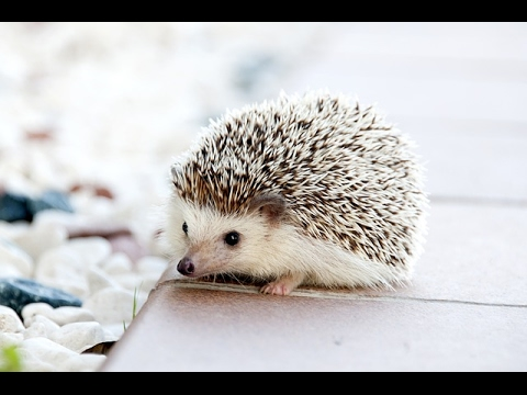 Cute And Funny Hedgehog Videos Compilation 2017 - Funny Animals