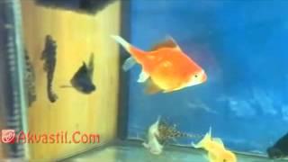 Золотые рыбки  Аквариумные рыбки  Аквариумистика