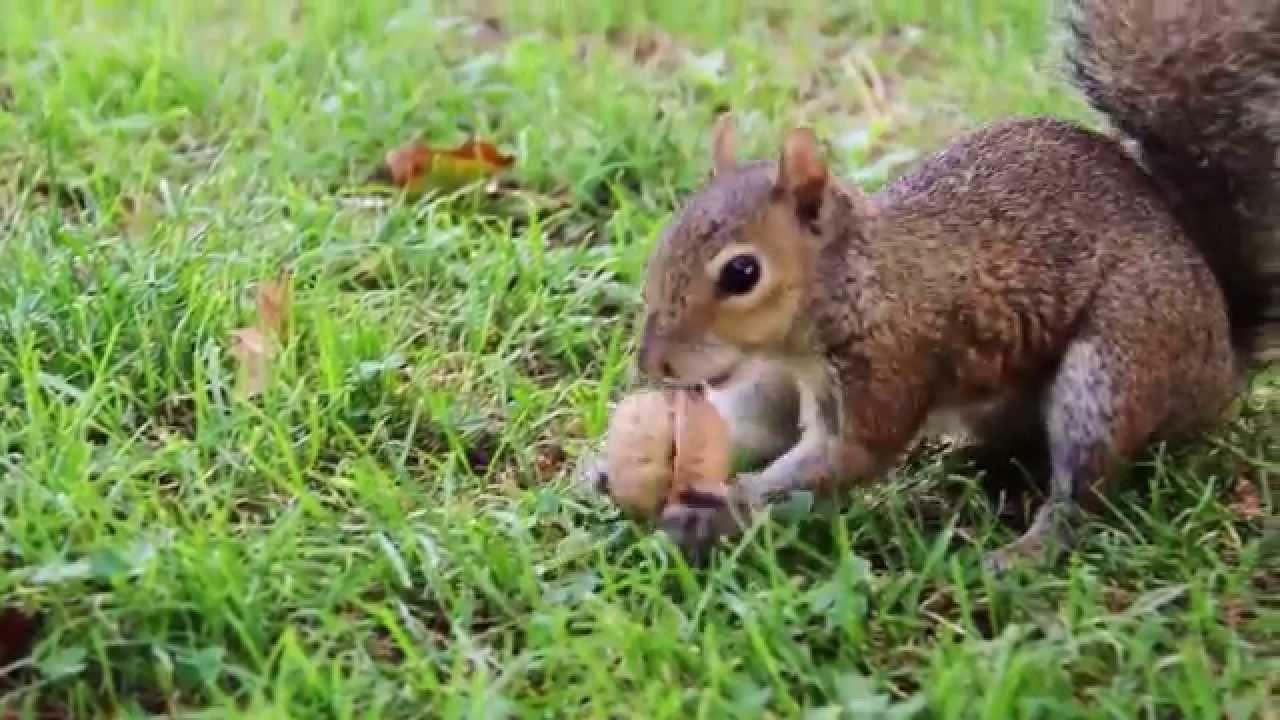 Gli scoiattoli dei parchi di nervi a genova squirrels for Parchi di nervi