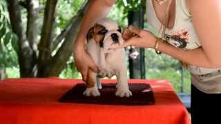 High-lord Harley (english Bulldog Male) For Sale