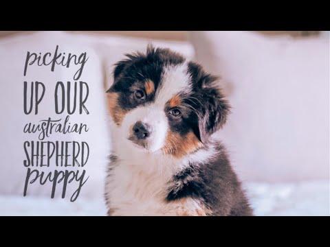 Picking Up Our New Puppy! // Australian Shepherd UK
