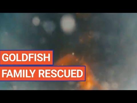 Amazing Goldfish Pet Rescue Story Video 2017 | Daily Heart ... - photo#49