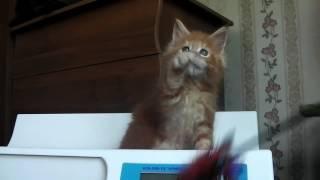 ЛИРИКУМ Эль Мариачи 7 недель  котенок мейн-кун