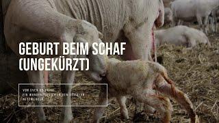 Geburt beim Schaf – ungekürzt (nehmt euch 30 Minuten Zeit)